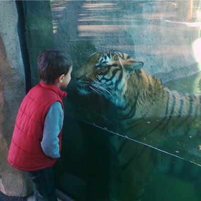 Face to Face with a Tiger