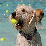 swimming dog with ball